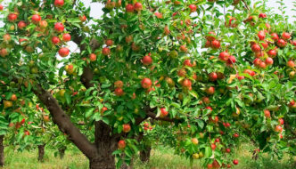 Fruit Tree Planting Advice for Homesteaders and Novices
